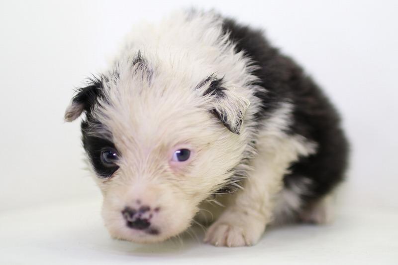 ボーダーコリーの子犬写真(クリックで拡大)