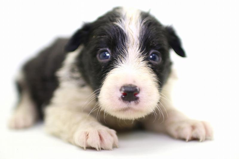 ボーダーコリーの子犬写真
