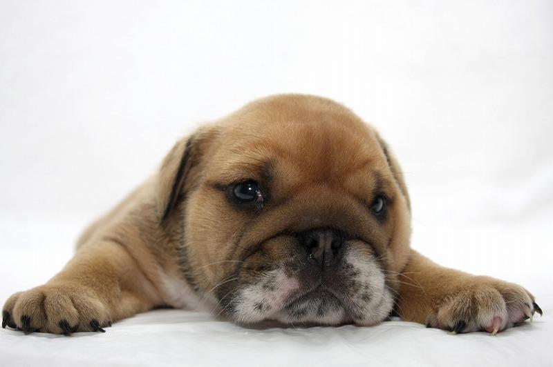 ブルドッグの子犬写真