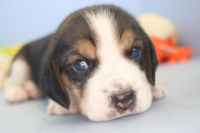 ビーグルの子犬写真