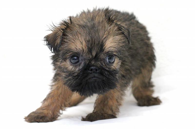 ブリュッセルグリフォンの子犬写真