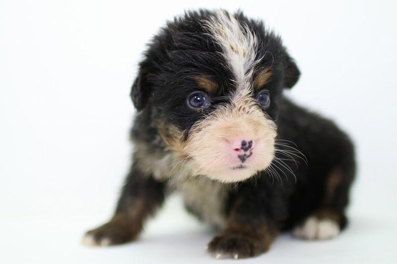 バーニーズマウンテンドッグの子犬写真(拡大)
