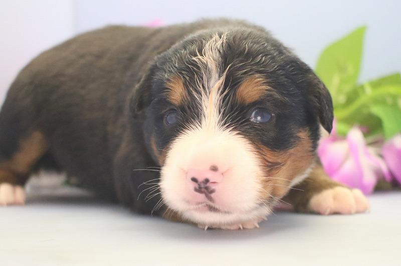 バーニーズマウンテンドッグの子犬写真