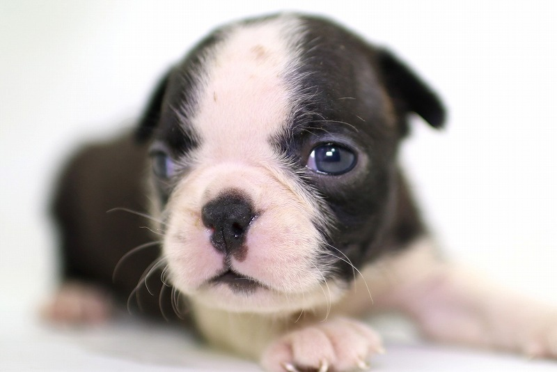 ボストンテリアの子犬写真