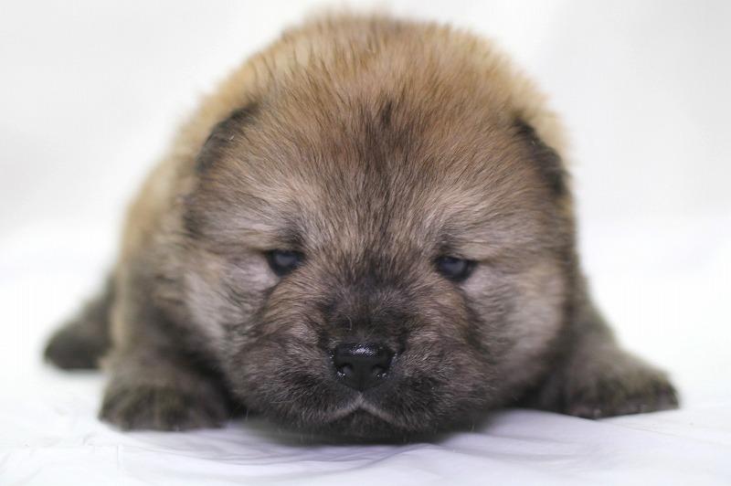 チャウチャウの子犬写真