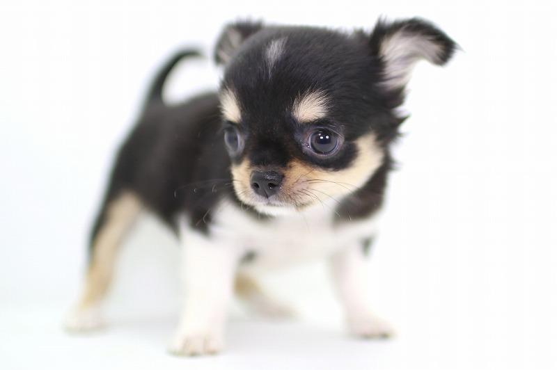 チワワの子犬写真