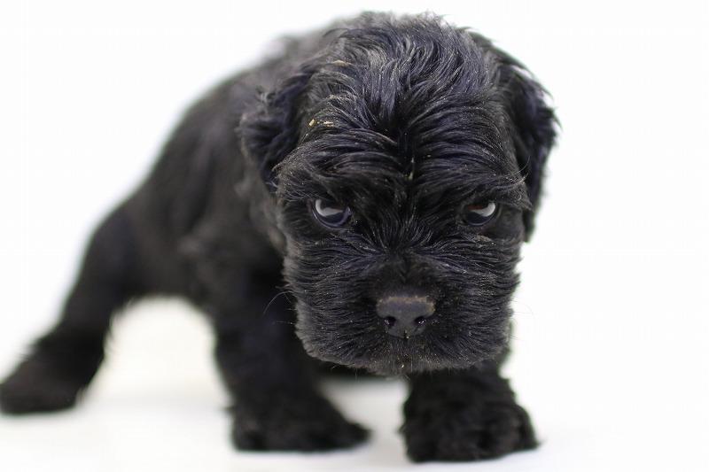 アメリカンコッカースパニエルの子犬写真