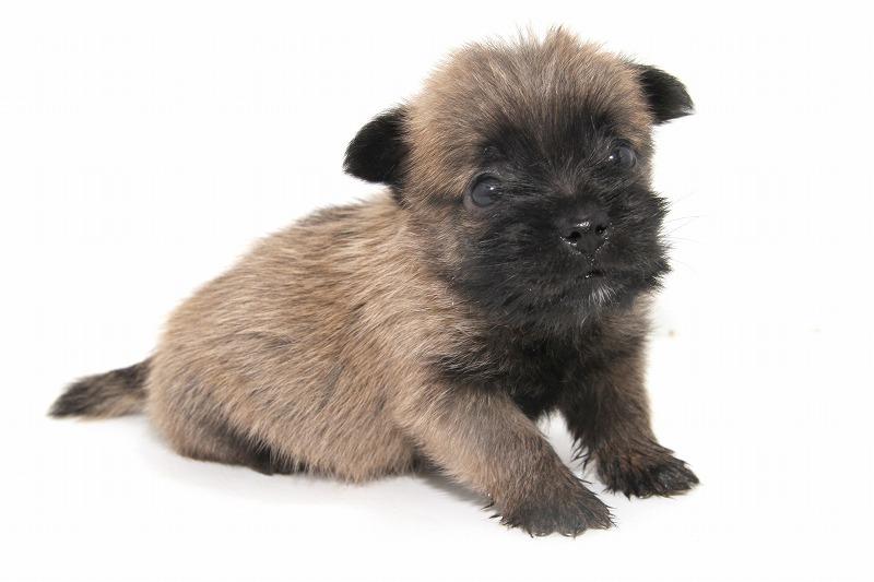 ケアーンテリアの子犬写真