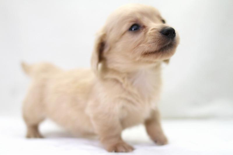 カニヘンダックスフンドの子犬写真(クリックで拡大)