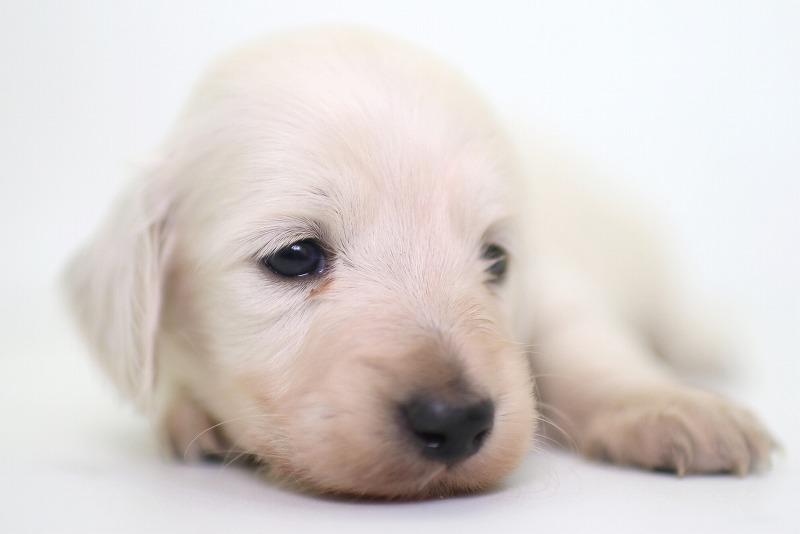 ミニチュアダックスフンドの子犬写真(クリックで拡大)