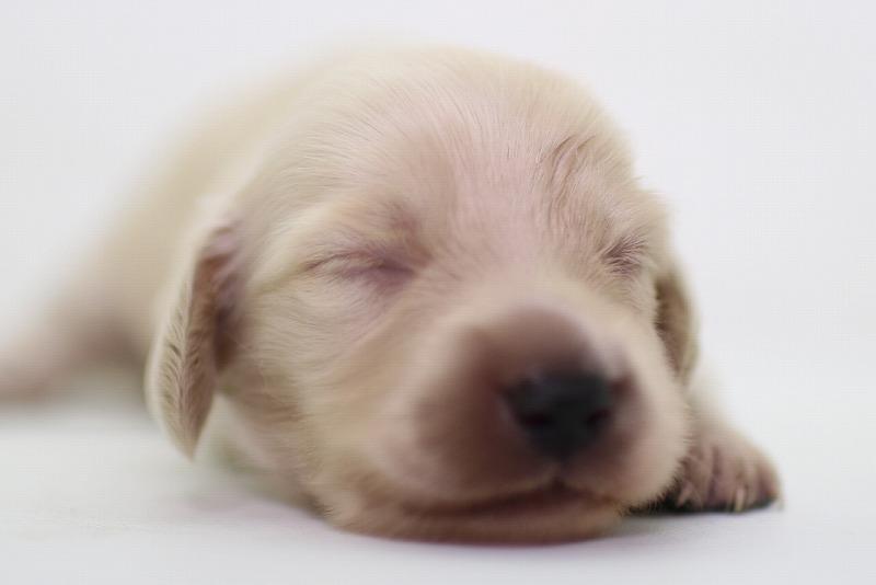 ミニチュアダックスフンドの子犬写真