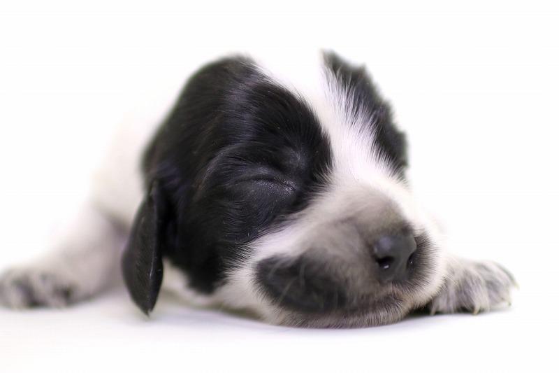 イングリッシュコッカースパニエルの子犬写真(クリックで拡大)