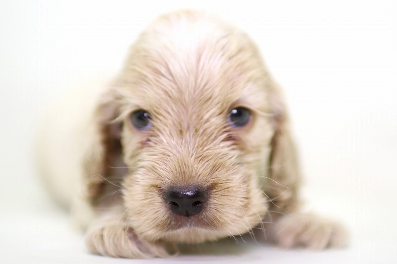 イングリッシュコッカースパニエルの子犬写真
