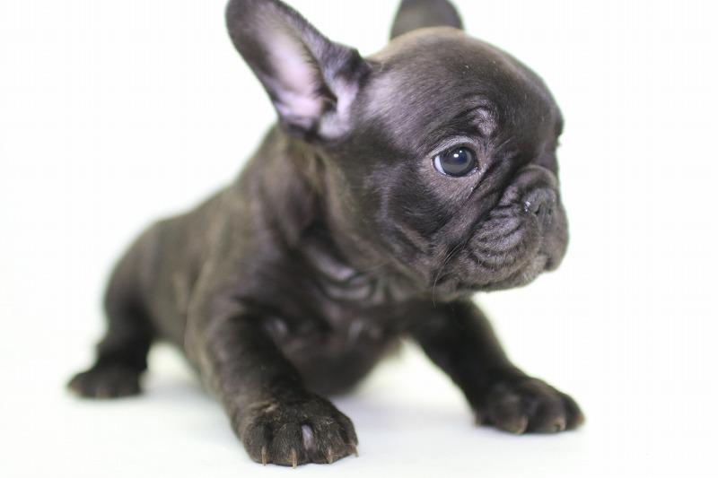 フレンチブルドッグの子犬写真(クリックで拡大)