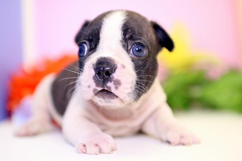 フレンチブルドッグの子犬写真
