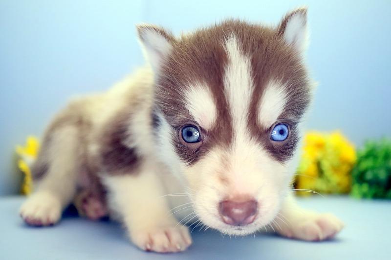 ハスキーの子犬写真