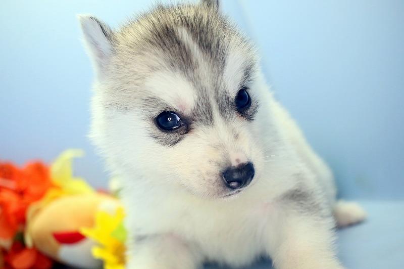 値段 ハスキー 犬