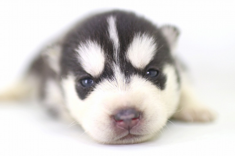 シベリアンハスキーの子犬写真