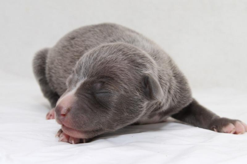 イタリアングレーハウンドの子犬写真(クリックで拡大)