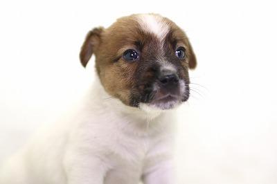 ジャックラッセルテリアの子犬写真(クリックで拡大)