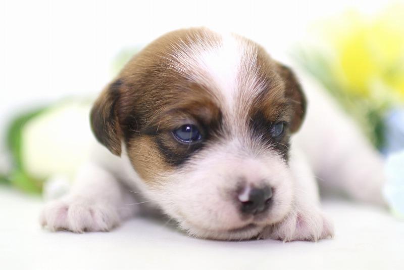 ジャックラッセルテリアの子犬写真