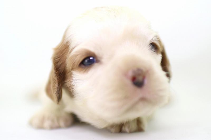 キャバリアKCSの子犬写真(クリックで拡大)