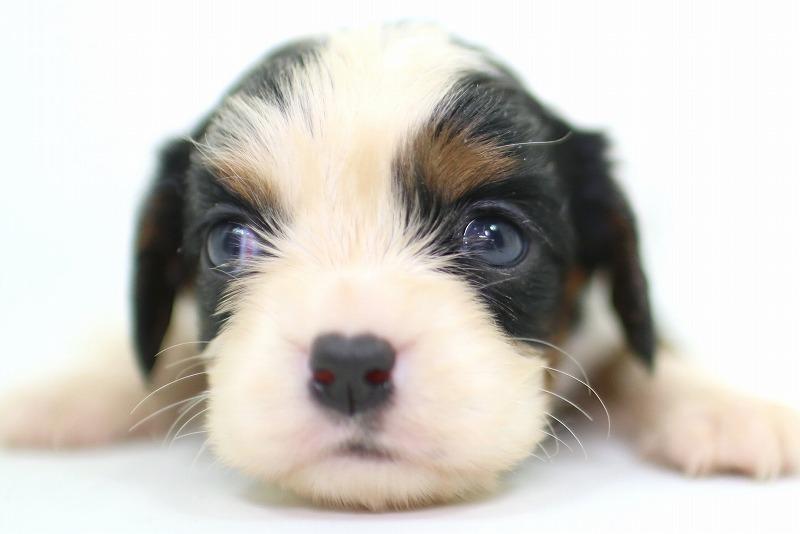 キャバリアキングチャールズスパニエルの子犬写真