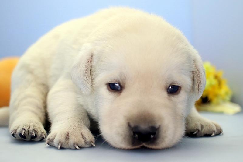 ラブラドールレトリバーの子犬写真