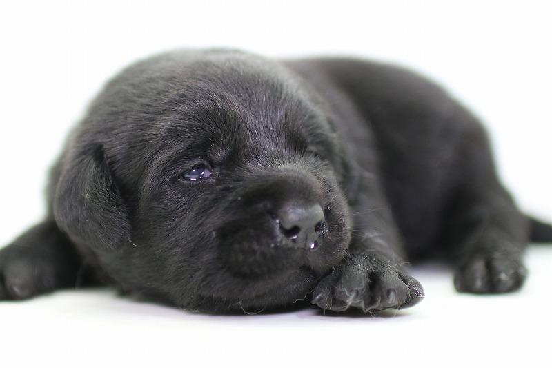 ラブラドールレトリーバーの子犬写真