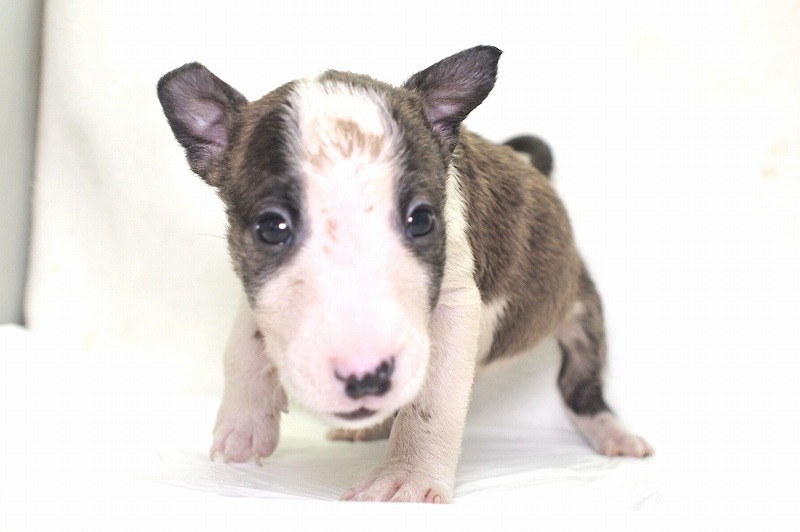 ミニチュアブルテリアの子犬写真