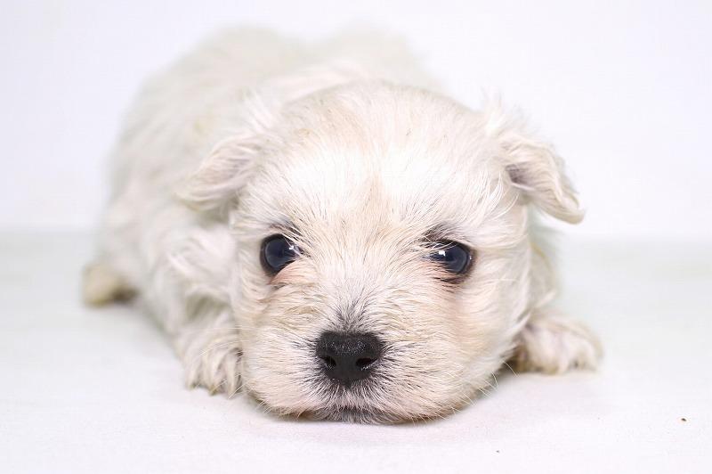 マルチーズの子犬写真