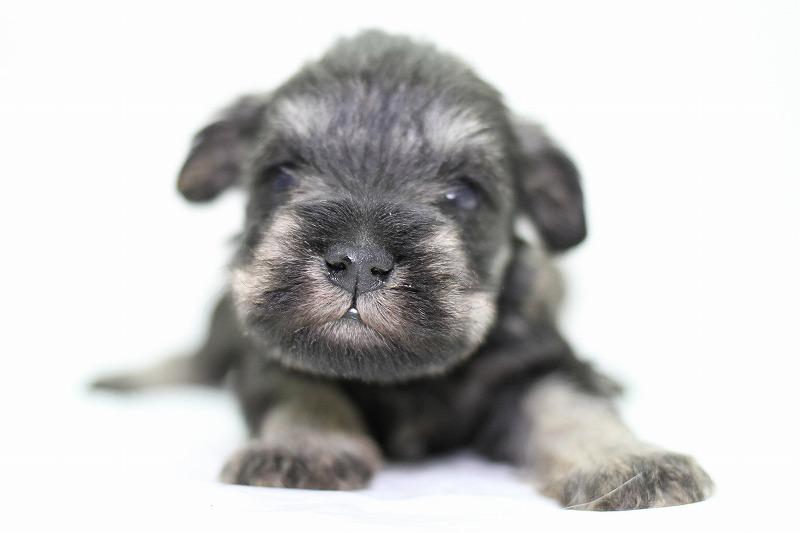 ミニチュアシュナウザーの子犬写真(クリックで拡大)