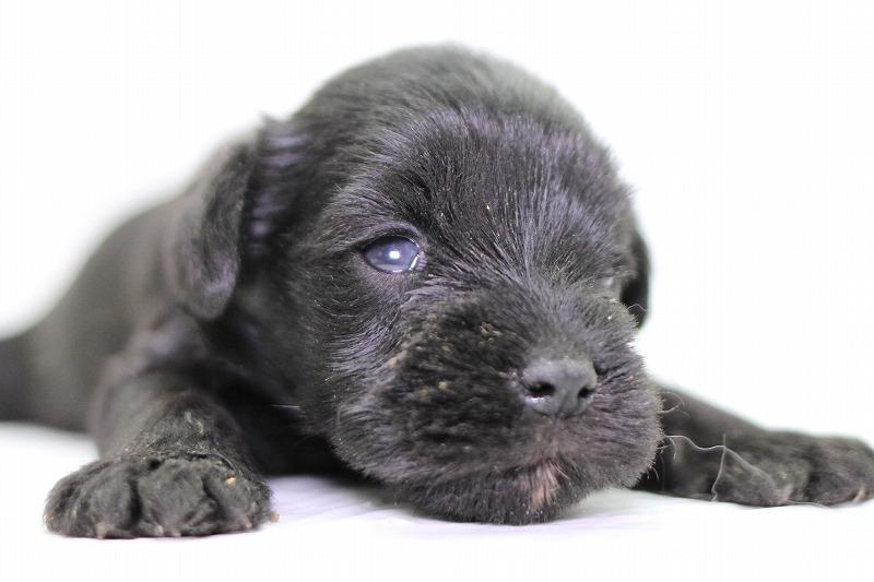 ミニチュアシュナウザーの子犬写真
