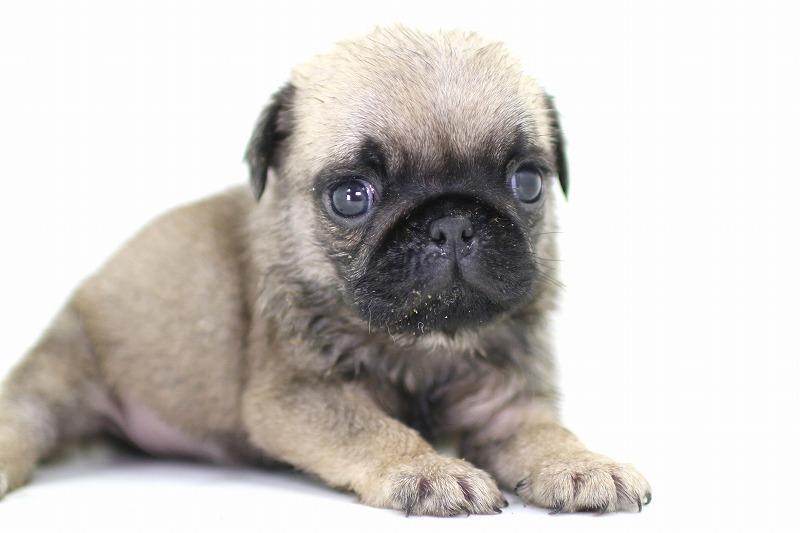 パグの子犬写真