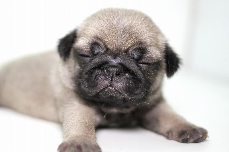パグの子犬写真(クリックで拡大)