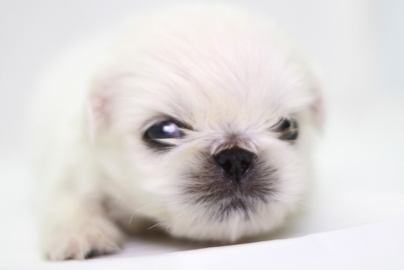 ペキニーズの子犬写真