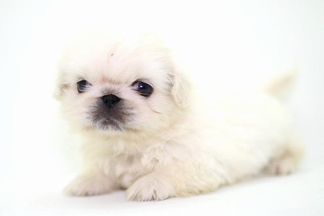 ペキニーズの子犬写真(クリックで拡大)