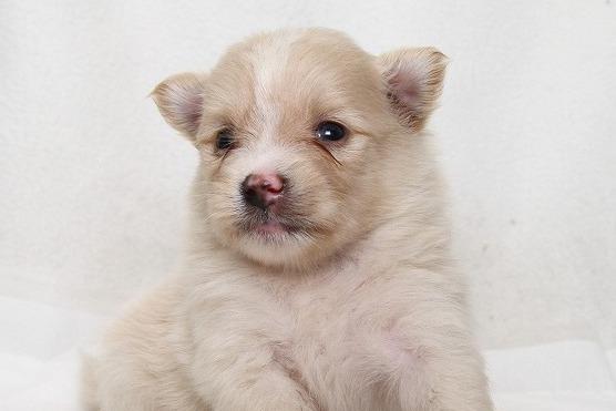 ポメラニアンの子犬写真