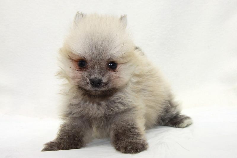 ポメラニアンの子犬写真(クリックで拡大)