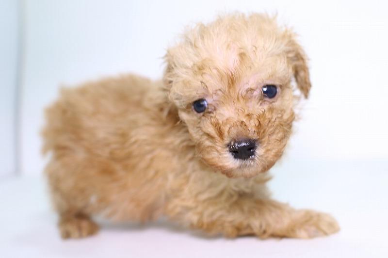 トイプードルの子犬写真