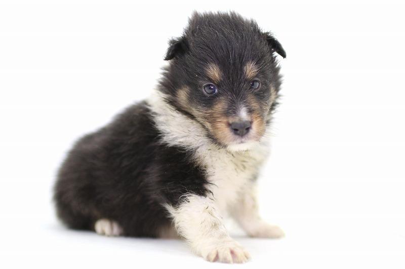 シェルティの子犬写真(クリックで拡大)