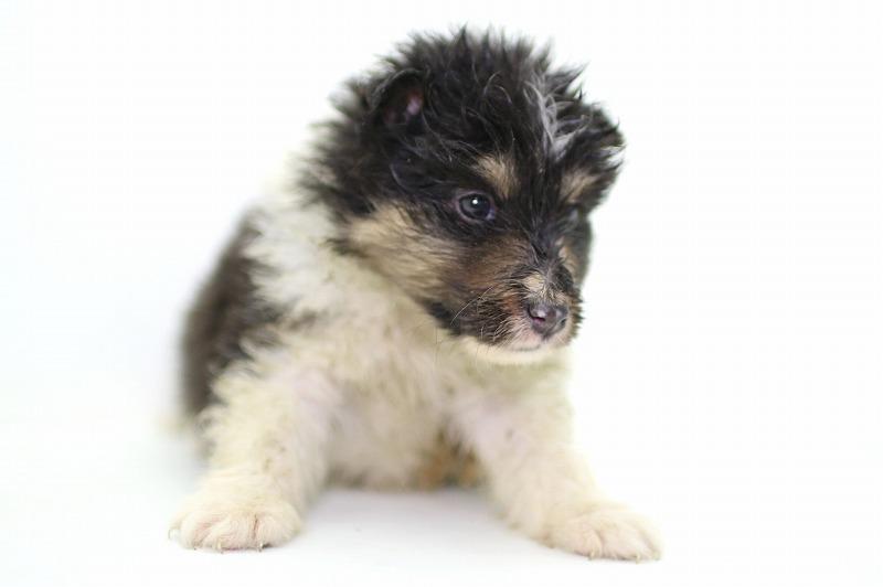 シェルティの子犬写真