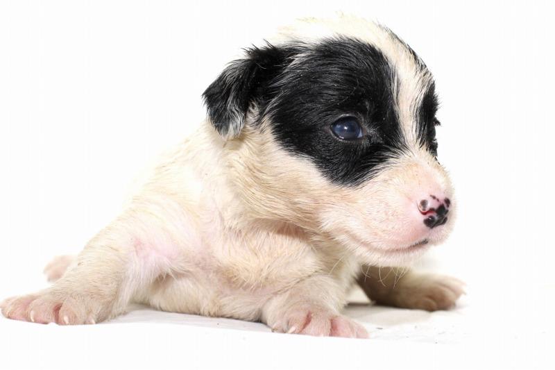 シーリハムテリアの子犬写真