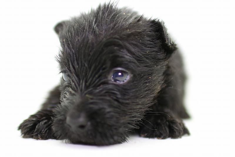 スコッチテリアの子犬写真