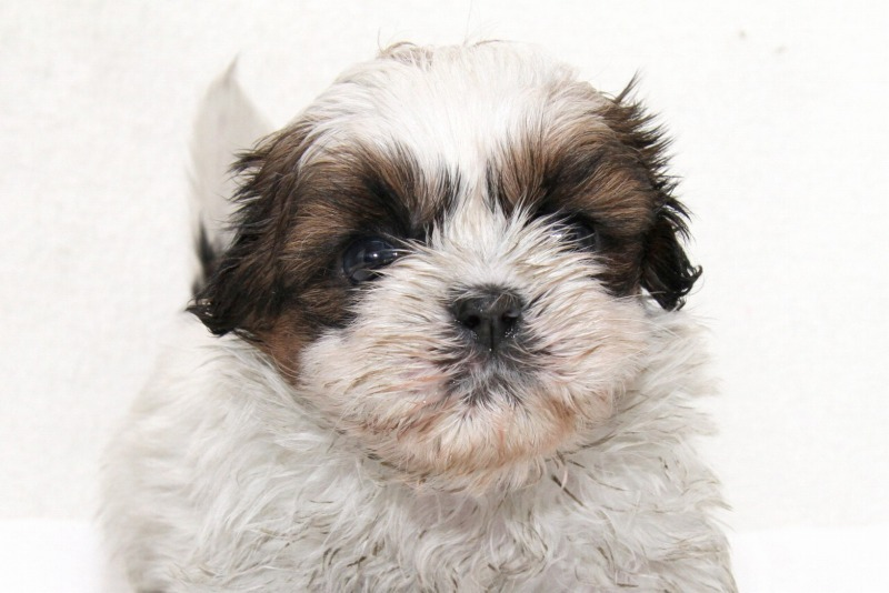 シーズーの子犬写真