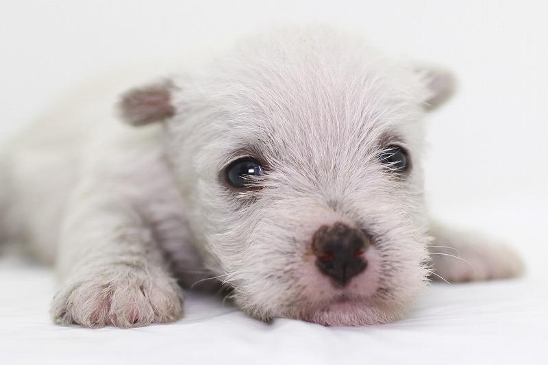 ウェスティ(ウェスト・ハイランド・ホワイトテリア)の子犬写真