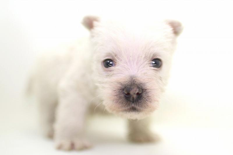 ウェスティの子犬写真