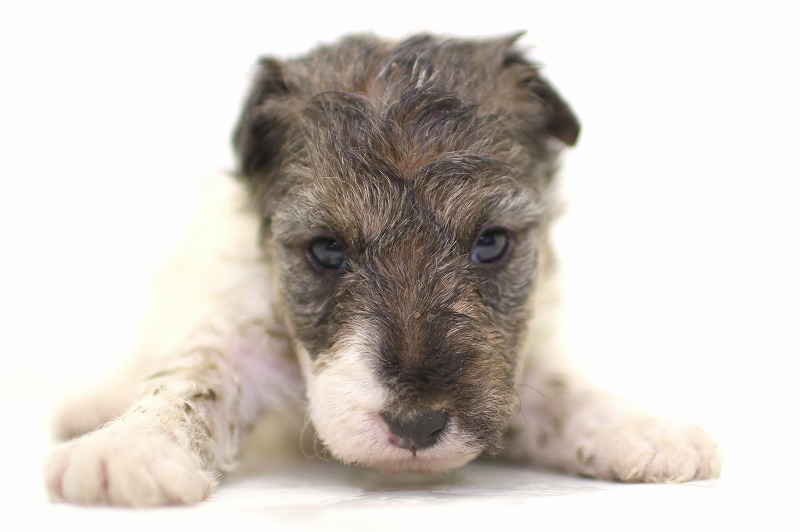ワイヤーフォックステリアの子犬写真