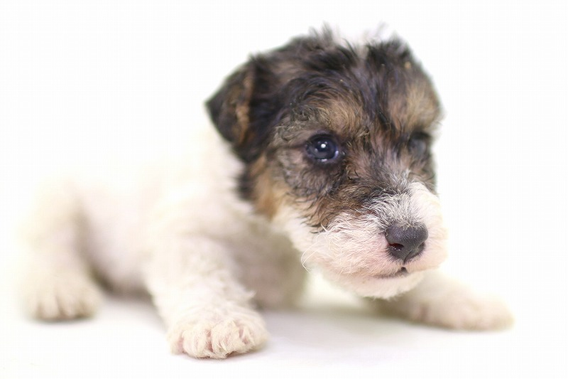 ワイヤーフォックステリアの子犬写真(拡大)