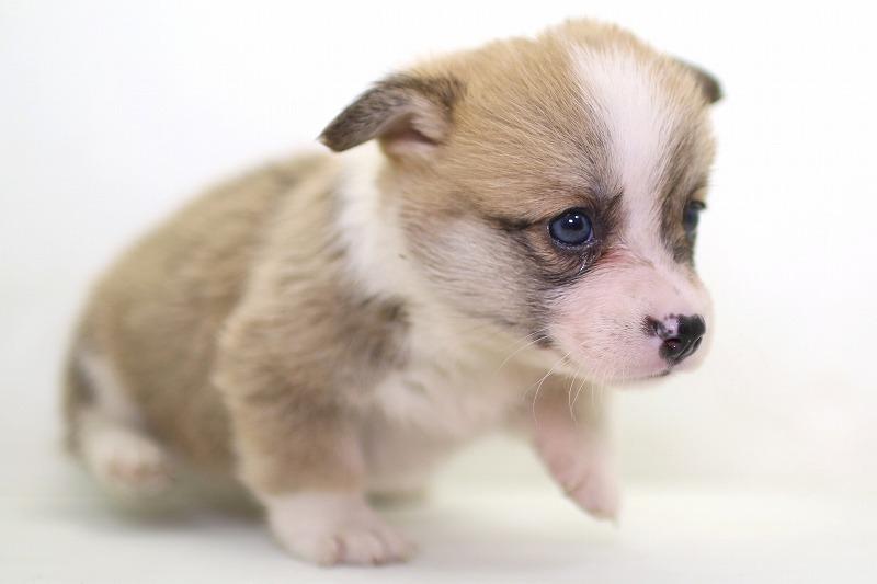 ウェルシュコーギーの子犬写真(クリックで拡大)